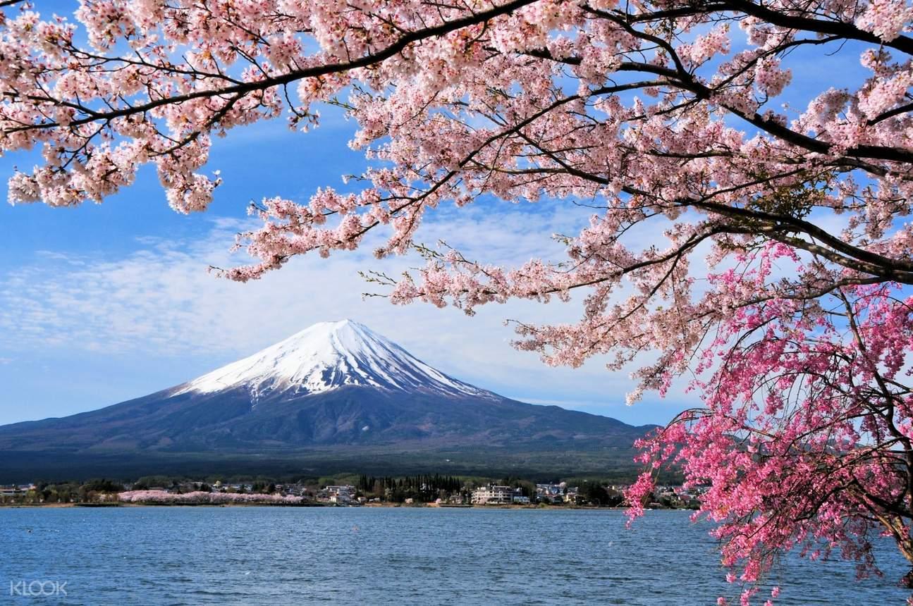 在樱花盛开的季节走访富士山,风景美不胜收